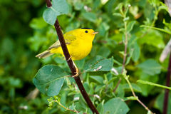 Wilson's Warbler. Male Wilson's Warbler Perched in Bush Stock Photography