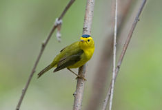 Wilson's Warbler. Photograph of a brightly colored male Wilson's warbler perched on a branch in a spring midwestern forest Stock Image
