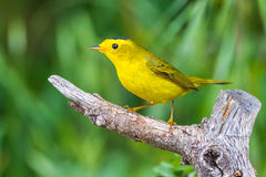 Wilson's Warbler. Adult Male Western Wilson's Warbler Perched On Old Tree Stump Stock Image