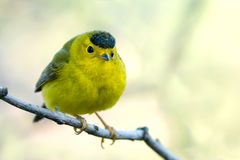 Wilson's Warbler all puffed up Royalty Free Stock Photography