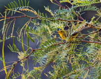 Wilson`s Warbler in Big Bend National Park, Texas. Bird in foliage of Big Bend National Park Stock Photo