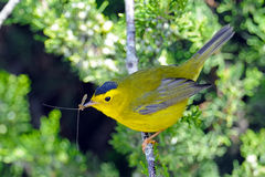Wilson's Warbler With Bug Stock Photo