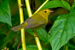 Wilson's Warbler Stock Photo