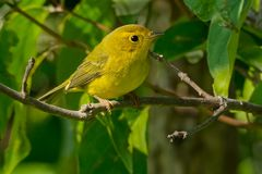 Wilson`s Warbler Stock Photos