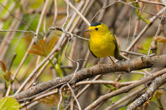Wilson`s Warbler Royalty Free Stock Photos
