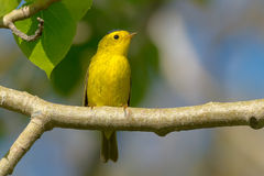 Wilson's Warbler Royalty Free Stock Photos