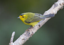 Wilson's Warbler Royalty Free Stock Images