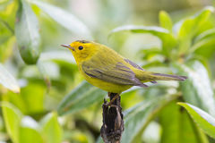 Wilson's Warbler Royalty Free Stock Image