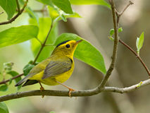 Wilson's Warbler poses on leafy branch Royalty Free Stock Images