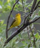 Wilson`s Warbler in Alaska. The Wilson`s warbler is a small New World warbler. It is greenish above and yellow below, with rounded wings and a long, slim tail Royalty Free Stock Photos