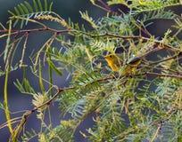 Wilson ` s Warbler w Dużym chyłu parku narodowym, Teksas Zdjęcie Stock