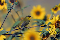 Wilson's Warbler, Wilsonia pusilla. A male Wilson's Warbler perches in a field of sunflowers Stock Photography