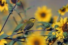 Wilson's Warbler, Wilsonia pusilla Stock Photography