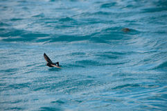 Wilson Storm Petrel. A Wilson Storm Petrel is skimming the surface of the sea, near Prion Island, South Georgia Royalty Free Stock Photography