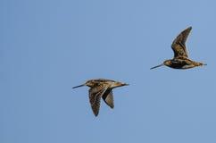 2 Wilson& x27; s стрелять летание в голубом небе Стоковые Фотографии RF