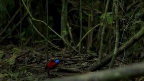 Wilsons Paradiesvogel konkurrierend, um eine Frau durch das Tanzen in den Trübsinn des Waldbodens anzuziehen lizenzfreies stockbild