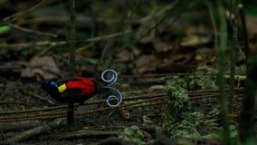 Wilsons Paradiesvogel konkurrierend, um eine Frau durch das Tanzen in den Trübsinn des Waldbodens anzuziehen lizenzfreie stockfotografie