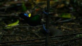 Wilsons Paradiesvogel konkurrierend, um eine Frau durch das Tanzen in den Trübsinn des Waldbodens anzuziehen stockfotos