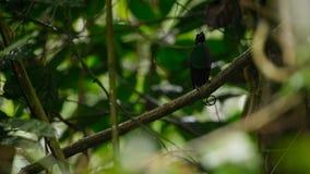 Wilsons Paradiesvogel konkurrierend, um eine Frau durch das Tanzen in den Trübsinn des Waldbodens anzuziehen lizenzfreie stockbilder