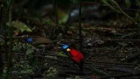 Wilsons Paradiesvogel konkurrierend, um eine Frau durch das Tanzen in den Trübsinn des Waldbodens anzuziehen stockfoto