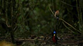 Wilsons Paradiesvogel konkurrierend, um eine Frau durch das Tanzen in den Trübsinn des Waldbodens anzuziehen lizenzfreies stockfoto