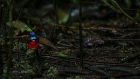Wilsons Paradiesvogel konkurrierend, um eine Frau durch das Tanzen in den Trübsinn des Waldbodens anzuziehen lizenzfreie stockfotos