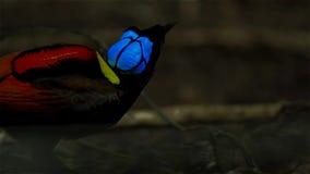 Wilsons Paradiesvogel konkurrierend, um eine Frau durch das Tanzen in den Trübsinn des Waldbodens anzuziehen stockbilder