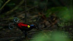 Wilsons Paradiesvogel konkurrierend, um eine Frau durch das Tanzen in den Trübsinn des Waldbodens anzuziehen stockbild