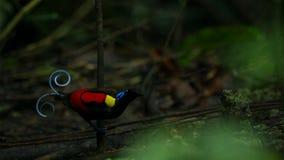 Wilsons Paradiesvogel konkurrierend, um eine Frau durch das Tanzen in den Trübsinn des Waldbodens anzuziehen stockfotografie