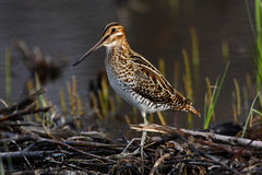 Wilsons Snipe Stock Photography