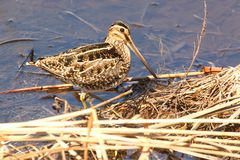 Wilsons Snipe in Spring Stock Photos