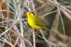 Wilsons Warbler (Wilsonia pusilla) Royalty Free Stock Photography