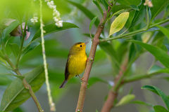 Wilsov Warbler, Wilsonia pusilla, New World warbler from Costa Rica. Tanager in the nature habitat. Wildlife scene from tropic nat Stock Images