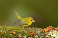 Wilsov Warbler, Wilsonia pusilla, New World warbler from Costa Rica. Tanager in the nature habitat. Wildlife scene from tropic nat Royalty Free Stock Photos