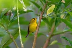 Wilsov Warbler, Wilsonia pusilla, Nowego światu warbler od Costa Rica Tanager w natury siedlisku Przyrody scena od zwrotnika nat Obrazy Stock