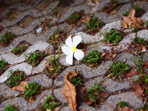 The wilt lan thom flower and several leaves lie on the brick ground. The wilt lan thom white flower and several dry out leaves lie on the brick ground Royalty Free Stock Photography