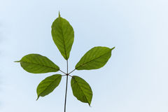 Wilt leaf on blue sky with copy space Royalty Free Stock Images