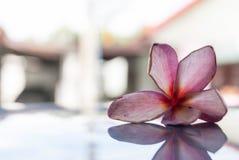 Wilt pink frangipani flower Stock Image