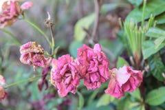 Wilt pink rose Stock Photo
