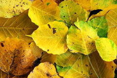 Wilt yellow Bo leaf heap on the floor texture background. Autumn wilt yellow Bo leaf heap on the floor texture background Royalty Free Stock Photography
