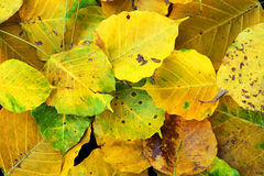 Wilt yellow Bo leaf heap on the floor texture background. Autumn wilt yellow Bo leaf heap on the floor texture background Stock Images