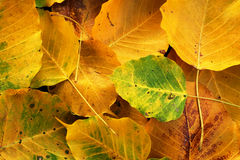 Wilt yellow Bo leaf heap on the floor texture background. Autumn wilt yellow Bo leaf heap on the floor texture background Stock Photography