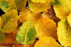 Wilt yellow Bo leaf heap on the floor texture background. Autumn wilt yellow Bo leaf heap on the floor texture background Stock Photo