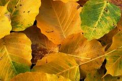 Wilt yellow Bo leaf heap on the floor texture background. Autumn wilt yellow Bo leaf heap on the floor texture background Royalty Free Stock Photo
