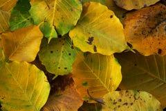 Wilt yellow Bo leaf heap on the floor texture background. Autumn wilt yellow Bo leaf heap on the floor texture background Royalty Free Stock Image