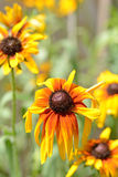 Wilted black eyed susan Royalty Free Stock Images