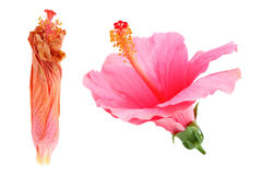 wilted and bloom hibiscus Rosa sinensis flower isolated on white Royalty Free Stock Image