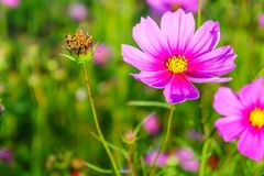 Wilted and blooming Cosmos flowers in a field. It is a flowering plant Stock Photo