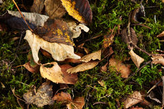 Wilted brown leaves on green moss Royalty Free Stock Photography