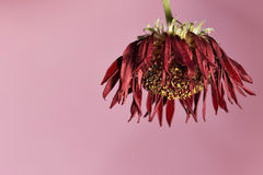 Wilted flower. On pink background Royalty Free Stock Photos